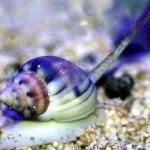 Nassarius-Snail