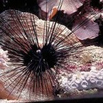 long-spine-urchin