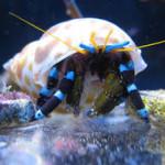 neon-blue-stripe-hermit