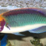 Clown Fairy Wrasse