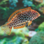 Leopard Wrasse - Female