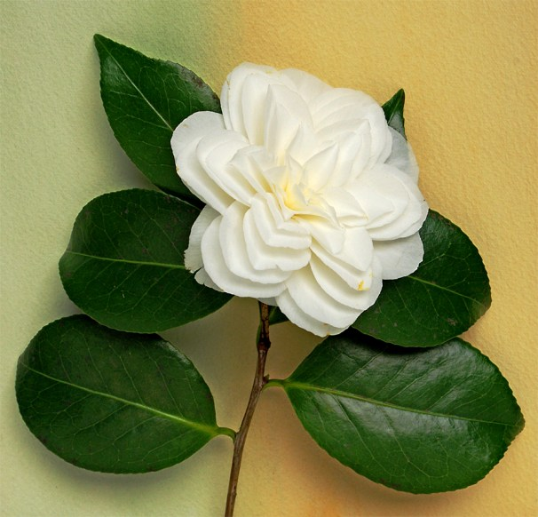 camellia vii