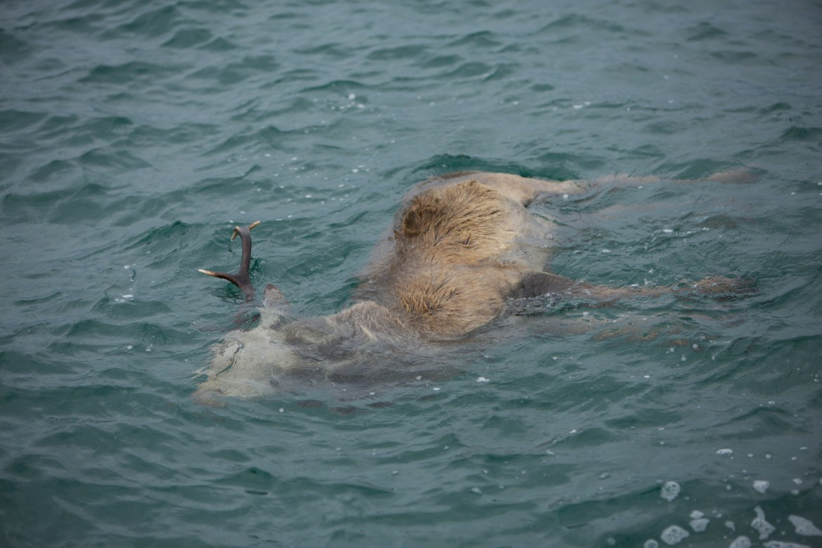 A floating dead red deer as spotted on wildlife boat trip in Scotland