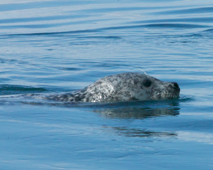 Harbor seal swimming alongside boat trip in Scotland