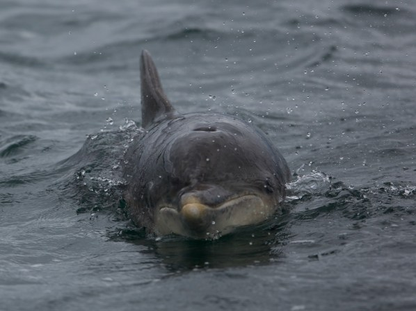 bottlenose dolphin seen on wildlife watching cruise near oban