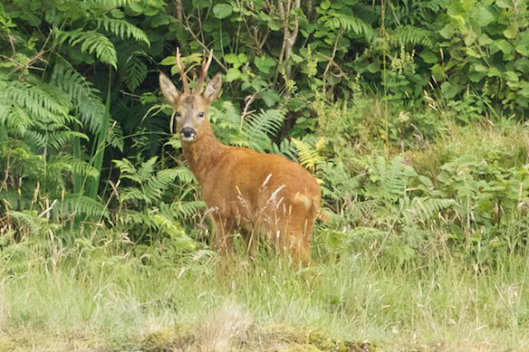 Roe Deer watches wildlife trip on Seil