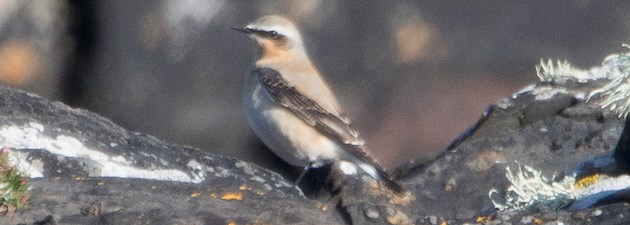 Sealife Adventures greenland wheatear in summer