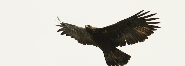 golden eagle in flight seen on wildlife boat trip, oban