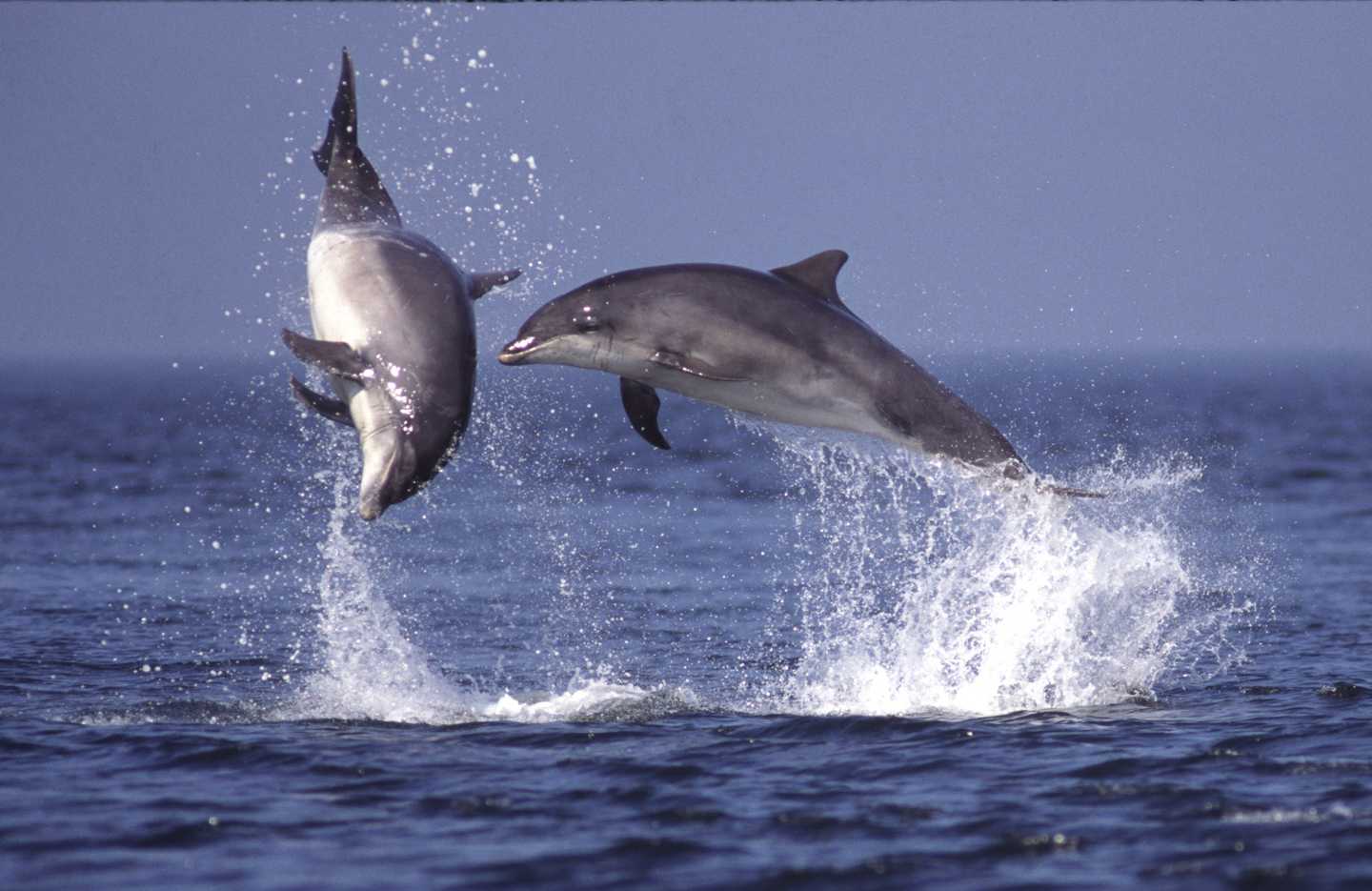 Bottle-nosed Dolphins#1