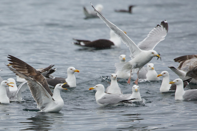 seagulls fighting over fish as seen on boat trip near Oban
