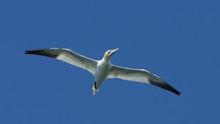 gannet-for-web