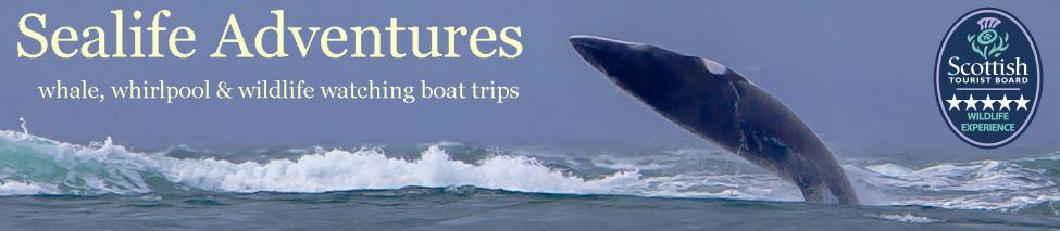 Minke whale breaching while on a boat trip