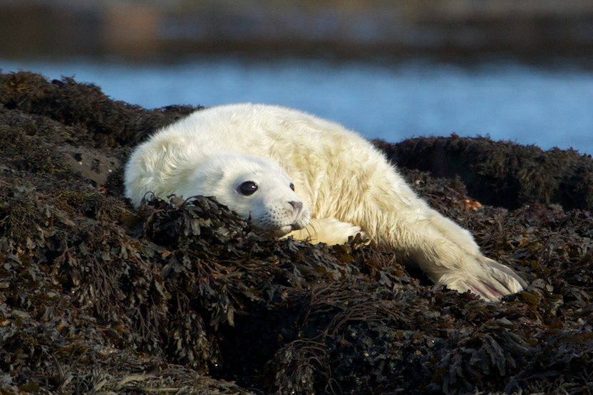 Grey seal baby sitting around as seen on whale watching trip Scotland