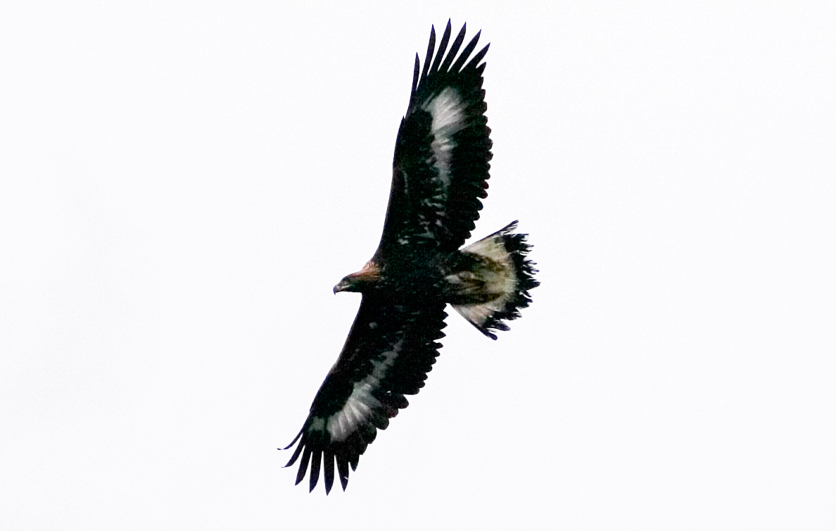baby eagle - flying