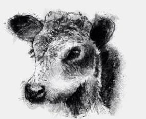 Herford calf