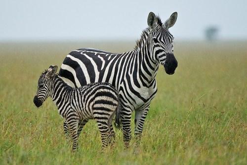 zebra-mum-baby