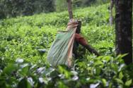 Tea picker, near Nawalapitiya, Sri Lanka