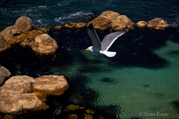 Seagull in Monterey