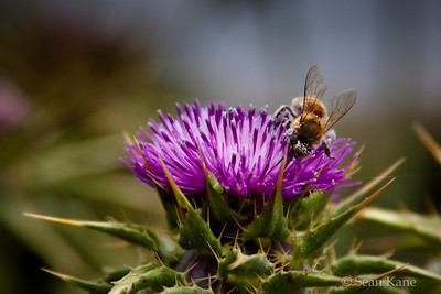 Thistle and Honeybee
