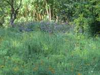 Another California native meadow