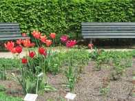 Tulips in the Tiergarten