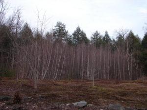 birch_trees_awakening
