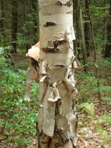birch_tree