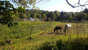 grazing_horses