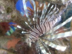 flirty-lionfish