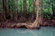 swamp blood tree
