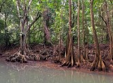 swamp blood tree root system.