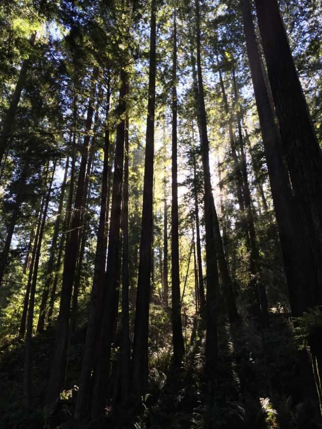 Sea Ranch Weather, redwoods,