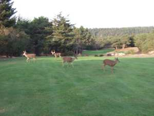 deer rut, Sea Ranch, Golf, Sea Ranch Golf Links