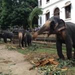 キャンディの仏歯寺で象たちを見る【スリランカ】