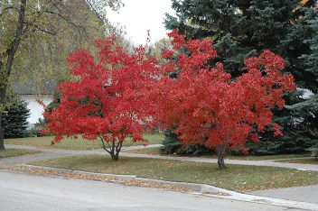 2016 Boulevard Tree Selection Government GULL LAKE Town Beautification  Town Council Communities in Bloom