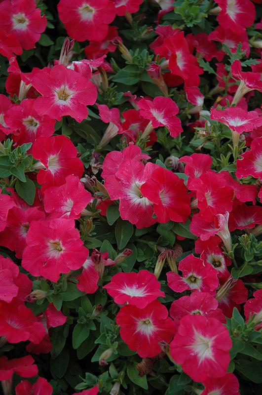 Mambo Red Morn Petunia Petunia Mambo Red Morn In