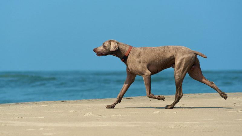 dog-pet-short-tail-ss-1920