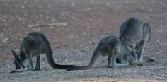 Kangaroos feeding at Donnelly River, Southwest Western Australia