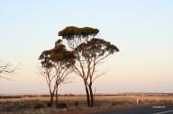 Wheat belt at sunset