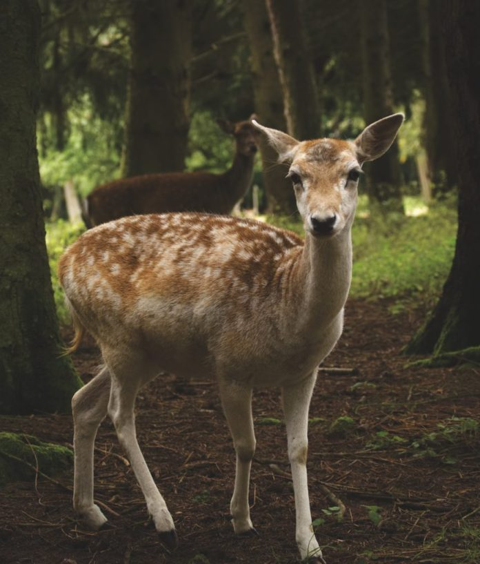 A little deer I saw in the woods