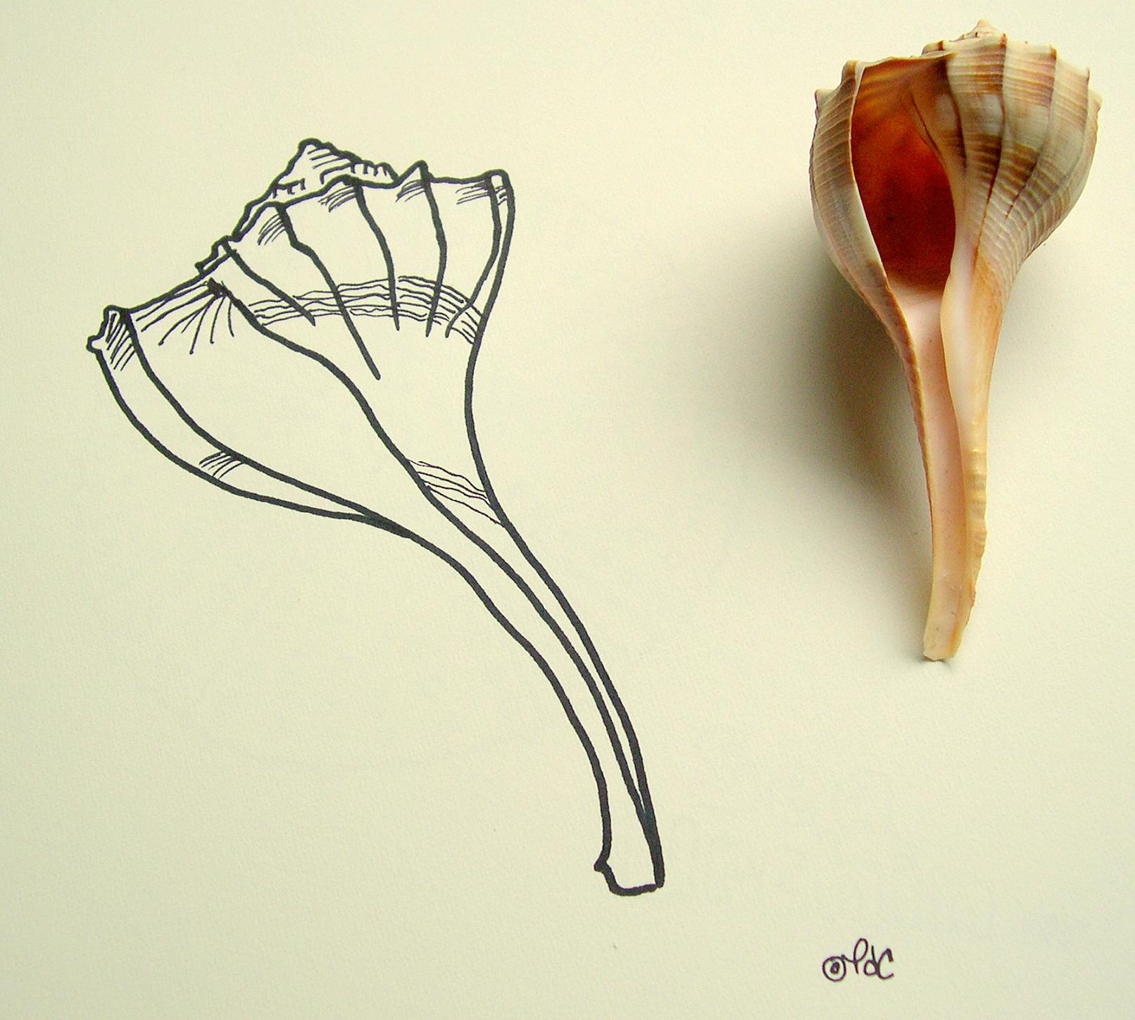 Drawing of the lightning whelk seashell