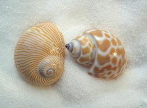 two little seashells