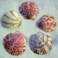 Collecting the Popular Scallop Seashell