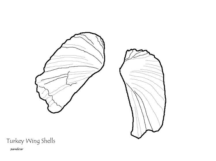 Turkey wing seashell coloring page