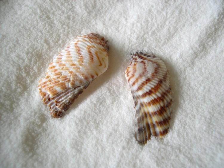 Turkey wing bivalve seashells have pretty brown stripes.