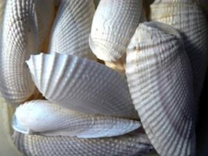 Angel wing shells