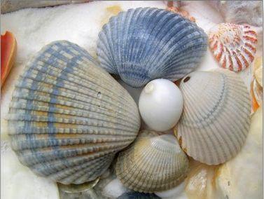 blue seashells postcard