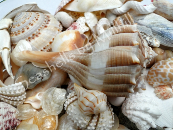 juvenile and adult lightning whelk seashells