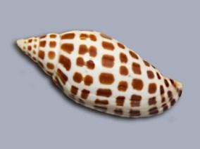 junonia seashell