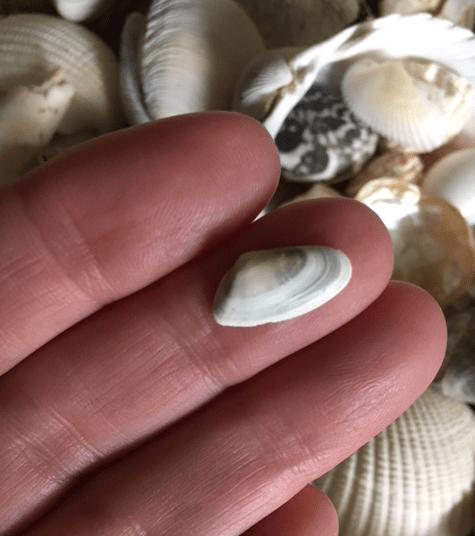 coquina shell